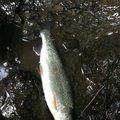 佐藤 俊之さんの北海道空知郡での釣果写真
