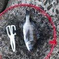 フクシマさんの千葉県安房郡でのクロダイの釣果写真