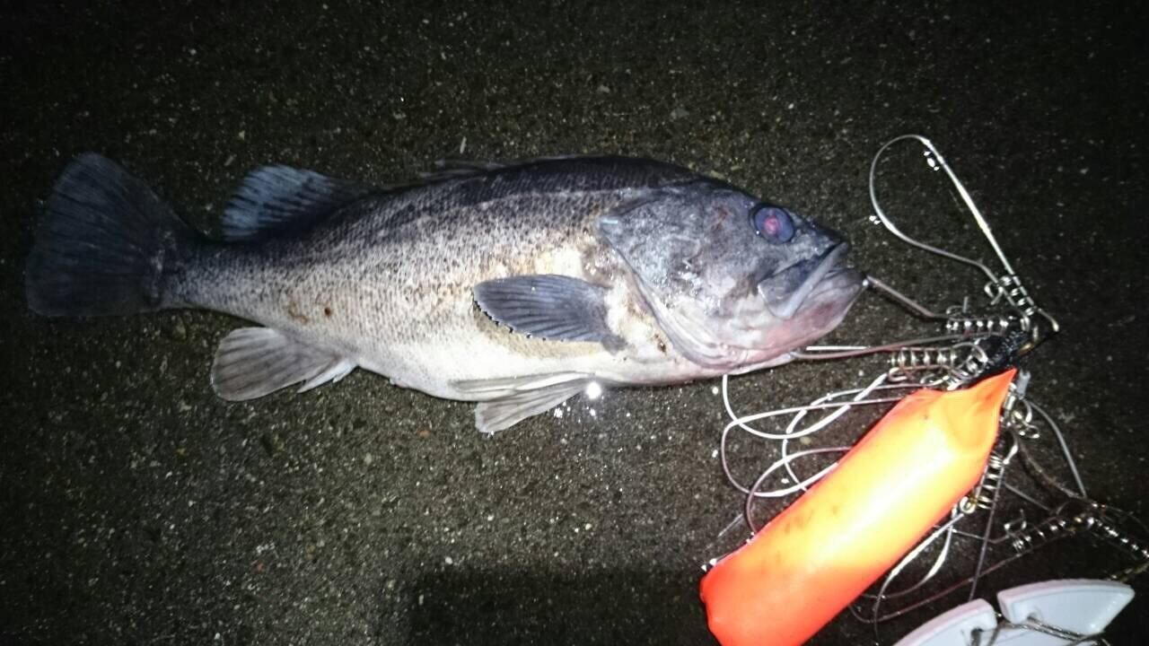 ぬこ好きさんの投稿画像,写っている魚はクロソイ