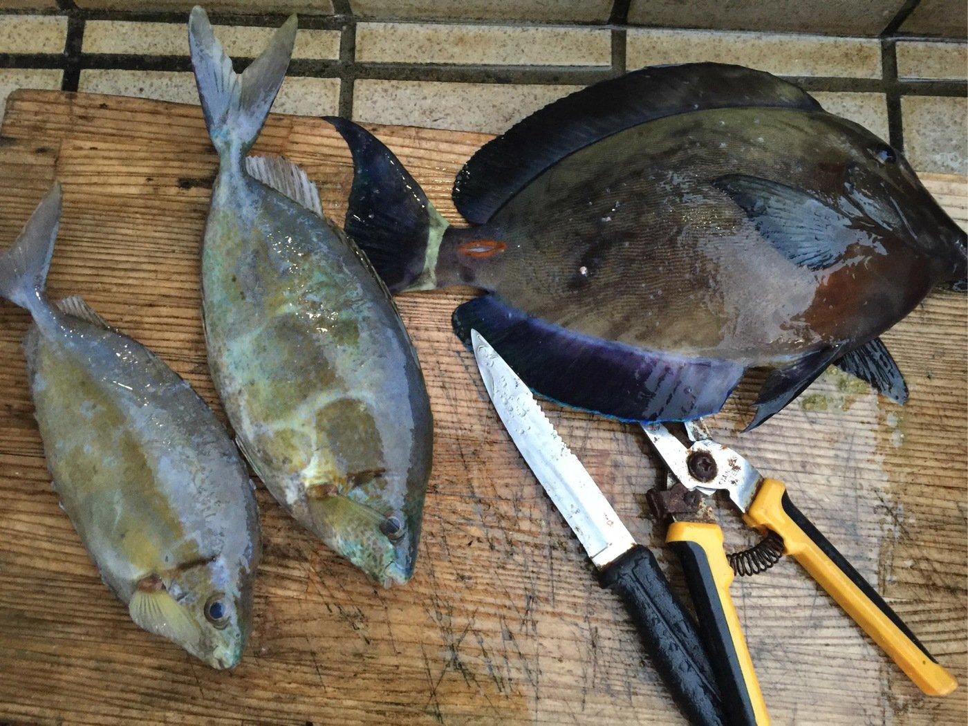 ゆうちゃんさんの投稿画像,写っている魚はアイゴ