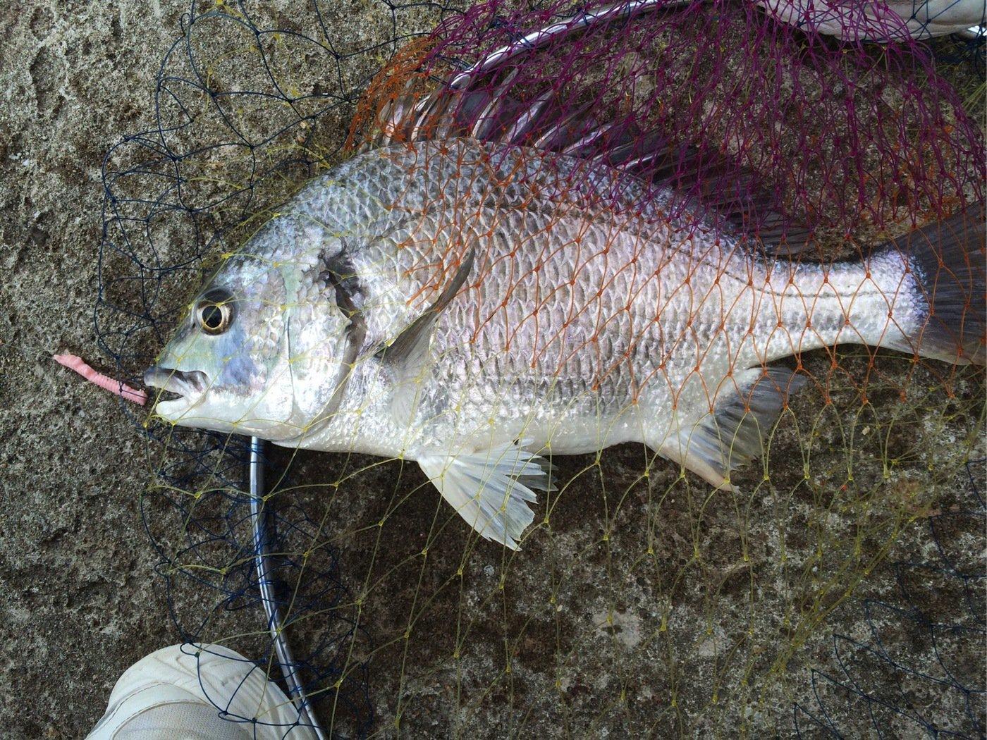 竜太朗さんの投稿画像,写っている魚はキチヌ