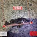 おさむさんの北海道石狩郡でのソイの釣果写真