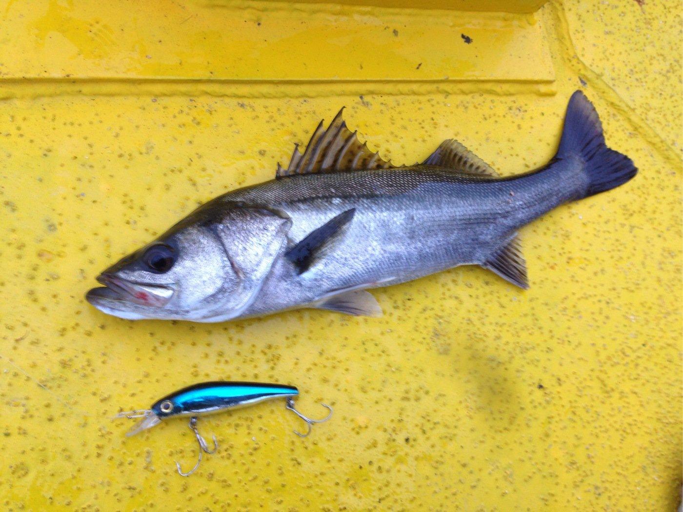 自由の翼さんの投稿画像,写っている魚はスズキ