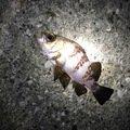 ただし。さんの神奈川県横須賀市でのシロメバルの釣果写真
