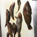 はたさんの愛知県知多郡でのアイナメの釣果写真