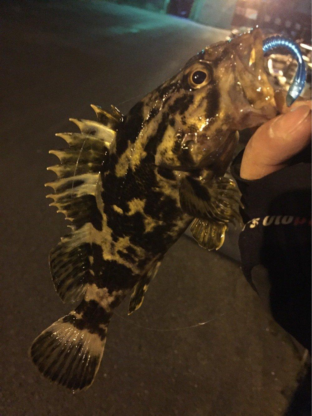 ヨシキングさんの投稿画像,写っている魚はタケノコメバル
