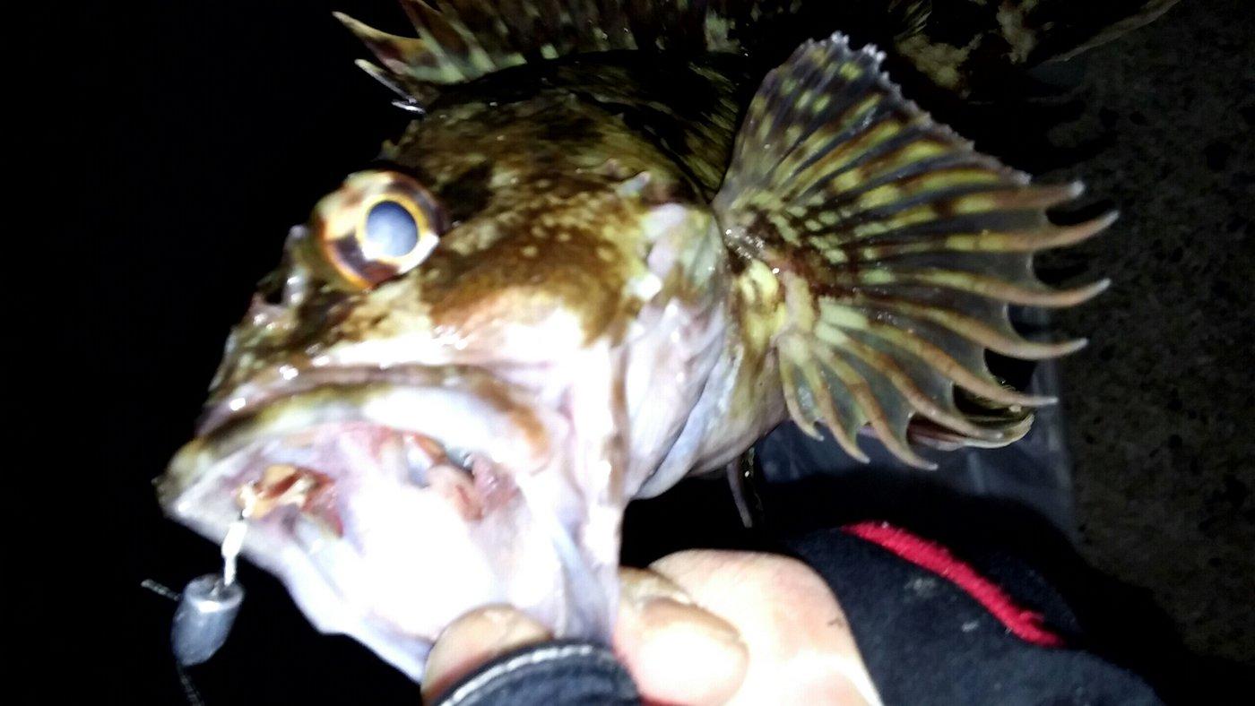 大崎の主さんの投稿画像,写っている魚はアカカサゴ