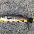 HIKAPEKAさんの千葉県安房郡でのスズキの釣果写真
