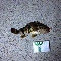 gomaさんの三重県津市でのタケノコメバルの釣果写真