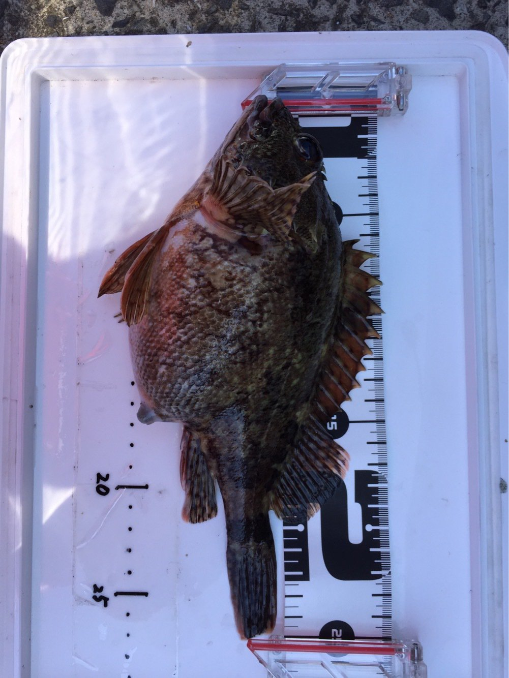 フルフルさんの投稿画像,写っている魚はカサゴ