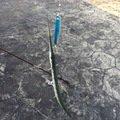 浜風さんの鹿児島県指宿市でのダツの釣果写真