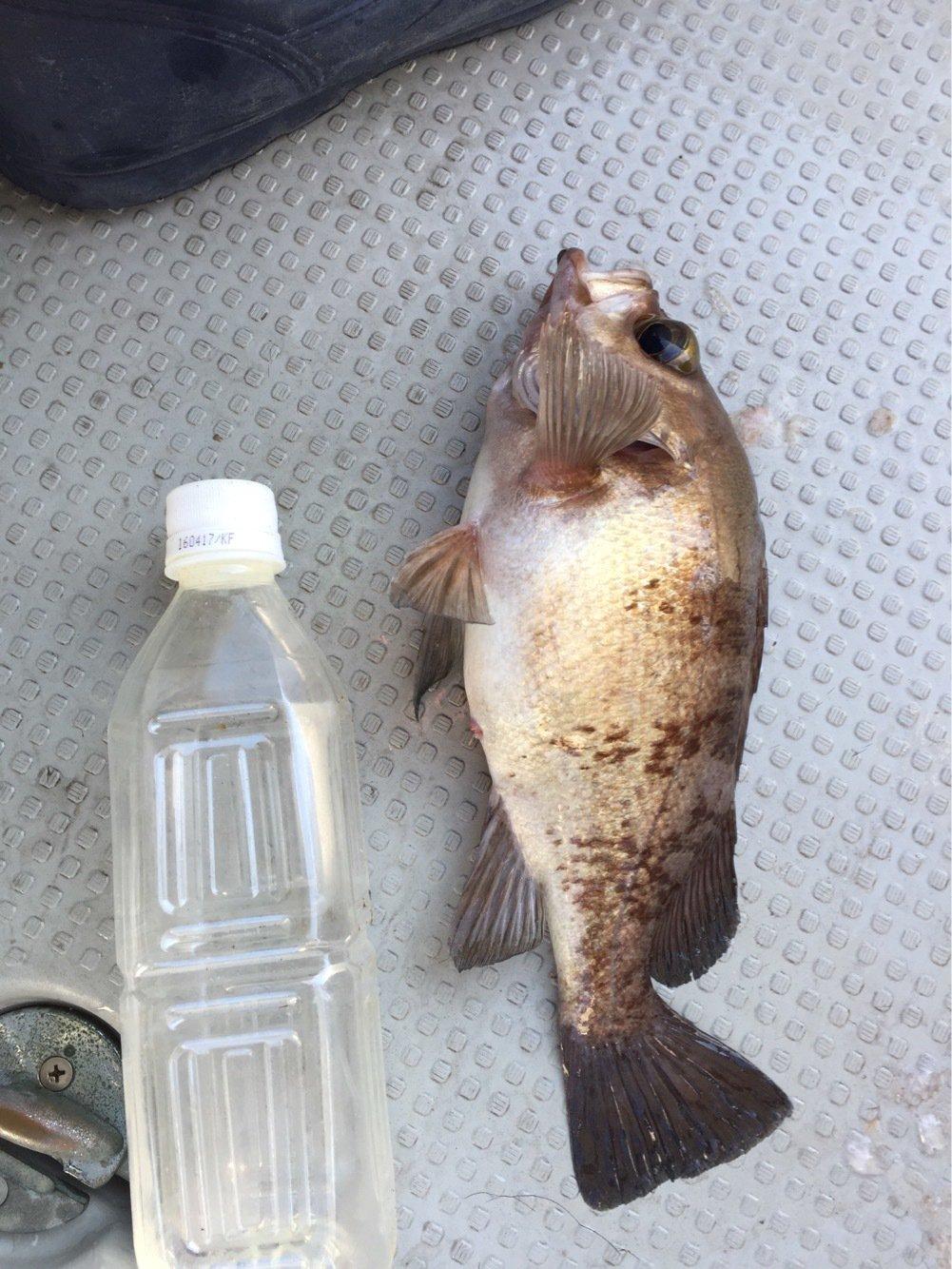 よしさんの投稿画像,写っている魚は