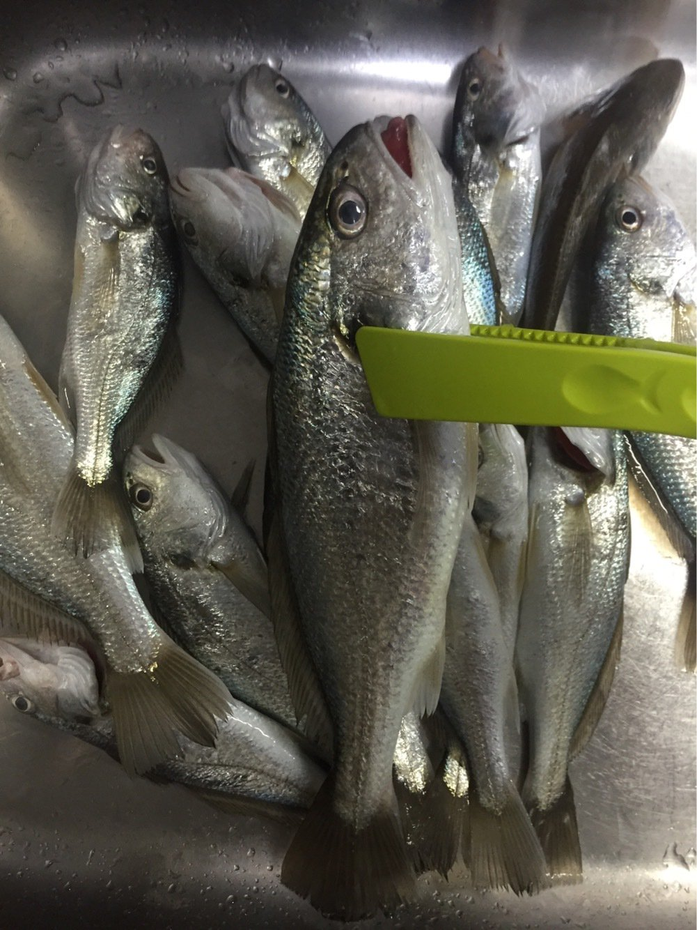 まえださんの投稿画像,写っている魚はイシモチ