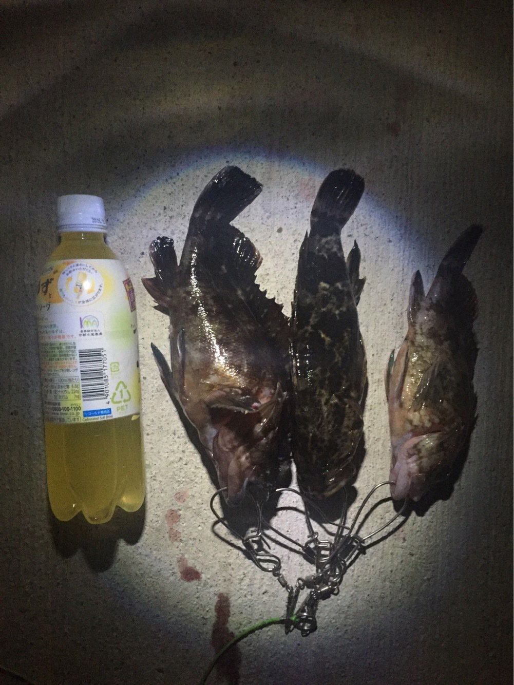 はたかつさんの投稿画像,写っている魚はカサゴ