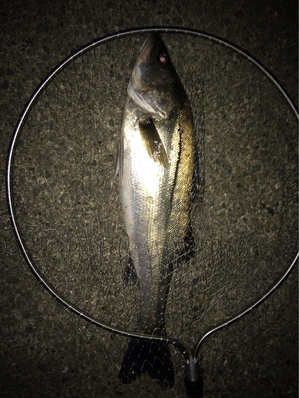 三平さんの投稿画像,写っている魚はスズキ