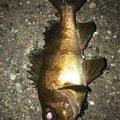 fukkyさんの兵庫県でのシロメバルの釣果写真