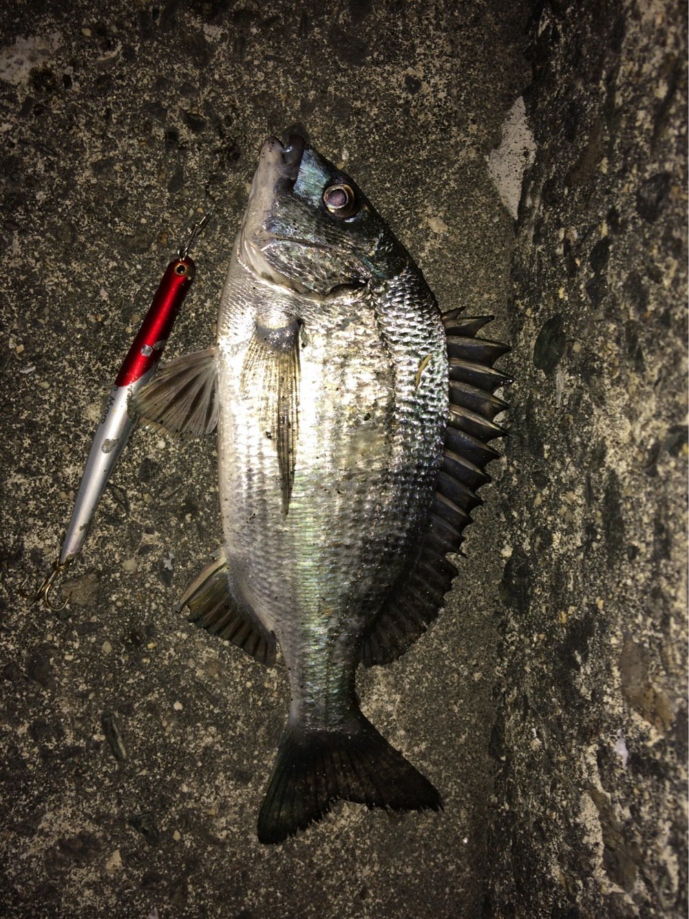 三平さんの投稿画像,写っている魚はクロダイ