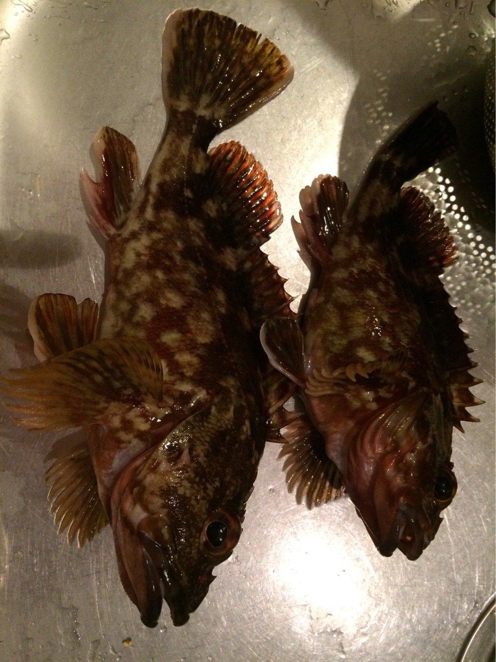 ヘリオスさんの投稿画像,写っている魚はカサゴ