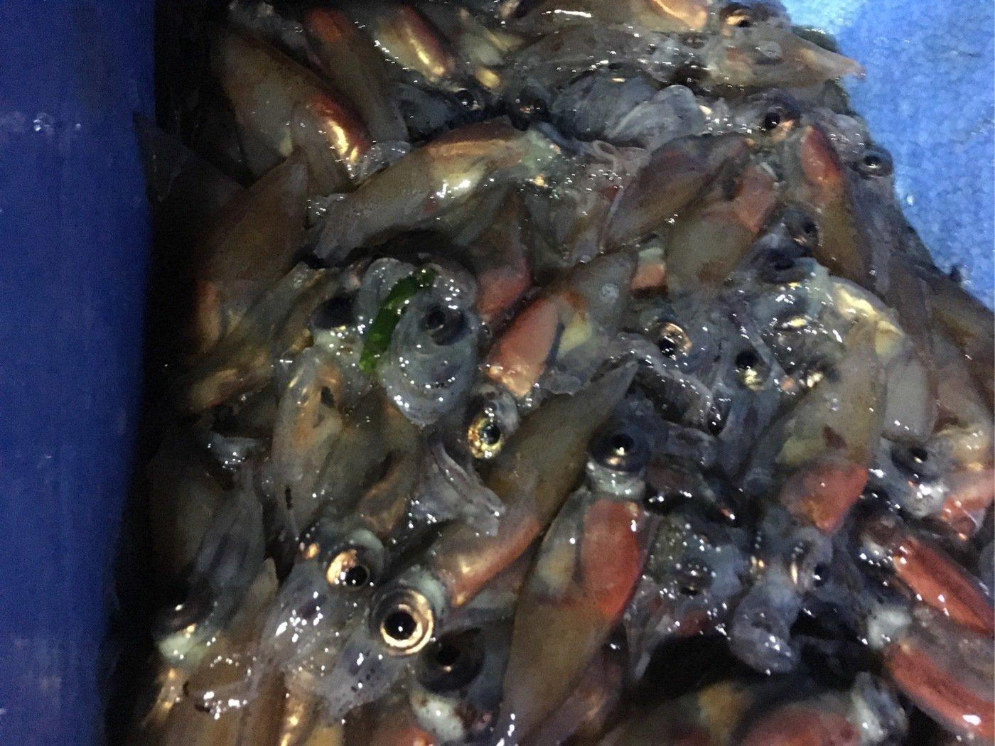 ぬこ好きさんの投稿画像,写っている魚はホタルイカ