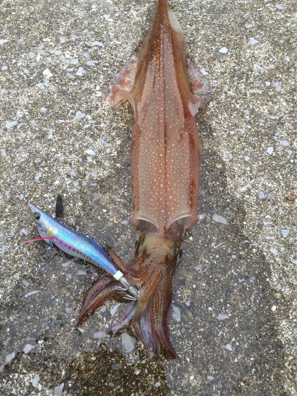 jive850さんの投稿画像,写っている魚はアオリイカ