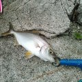 ひろみちおとうさんさんの福島県双葉郡での釣果写真