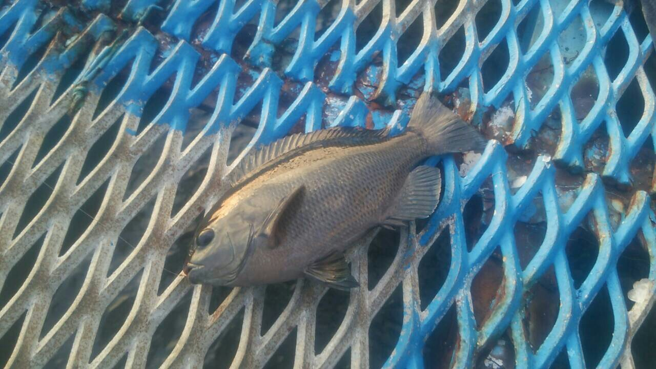 磯辺爆釣会アングラーD&yamさんの投稿画像,写っている魚はメジナ