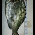 磯辺爆釣会アングラーD&yamさんの千葉県市原市でのクロダイの釣果写真