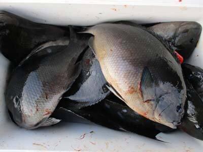 E☆BIさんの投稿画像,写っている魚はクロメジナ