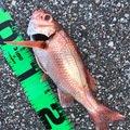 ふぁんとむさんの富山県でのアカムツの釣果写真