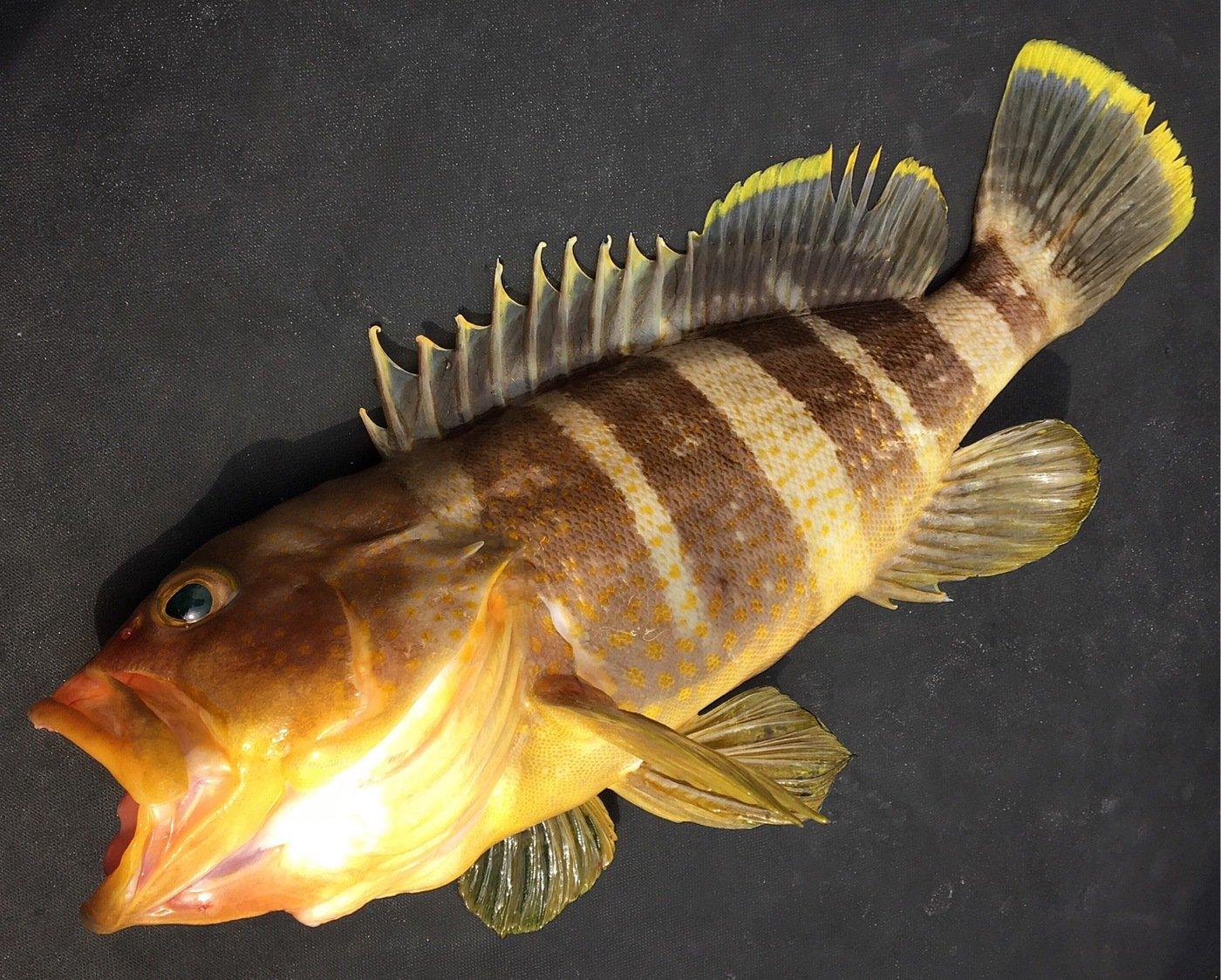 ユミさんの投稿画像,写っている魚はアオハタ