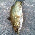 HIRO.Yさんの新潟県南蒲原郡での釣果写真