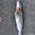 CRFさんの茨城県稲敷市での釣果写真
