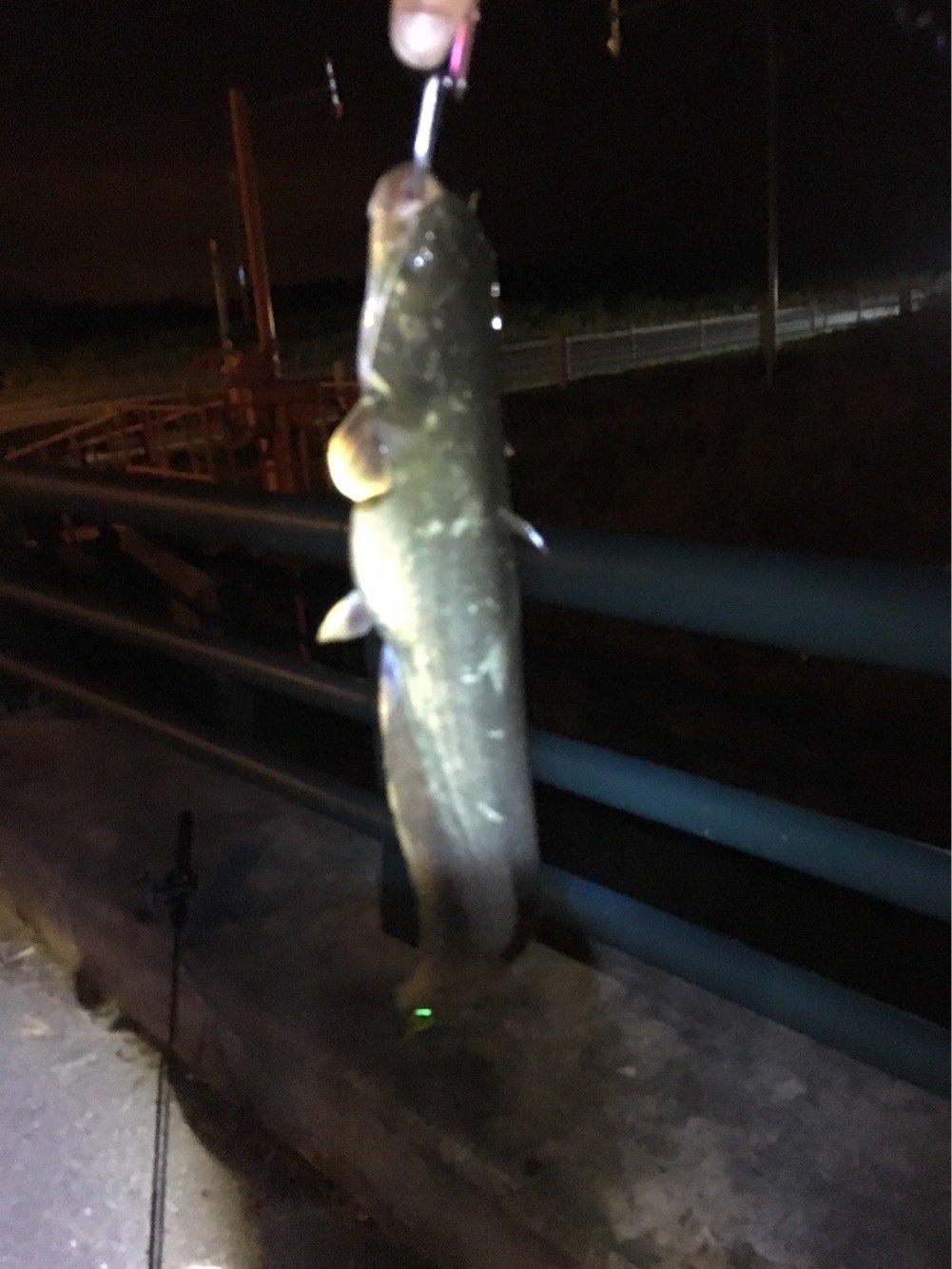 ぐりさんの投稿画像,写っている魚はナマズ
