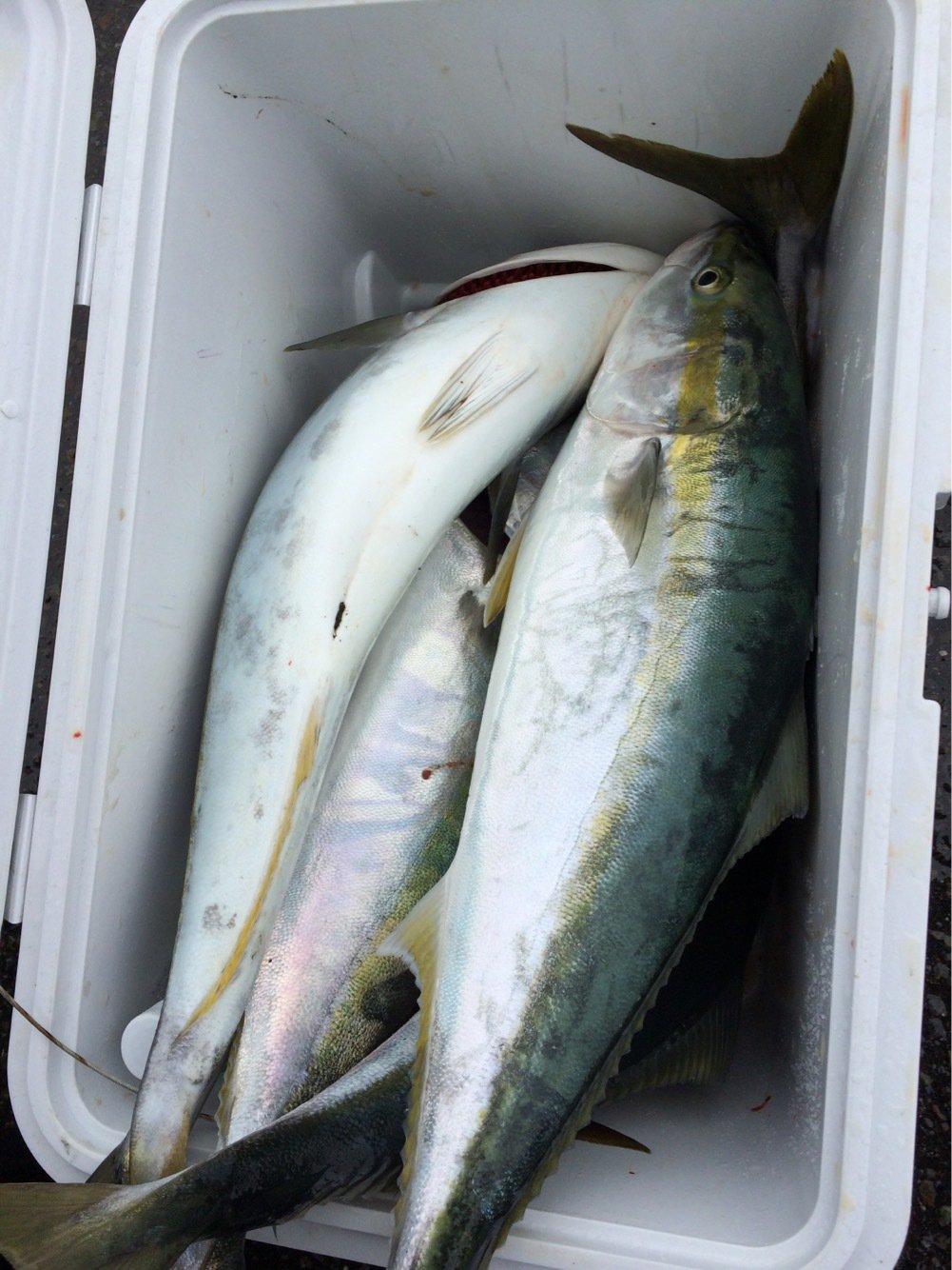 yoshiさんの投稿画像,写っている魚はブリ