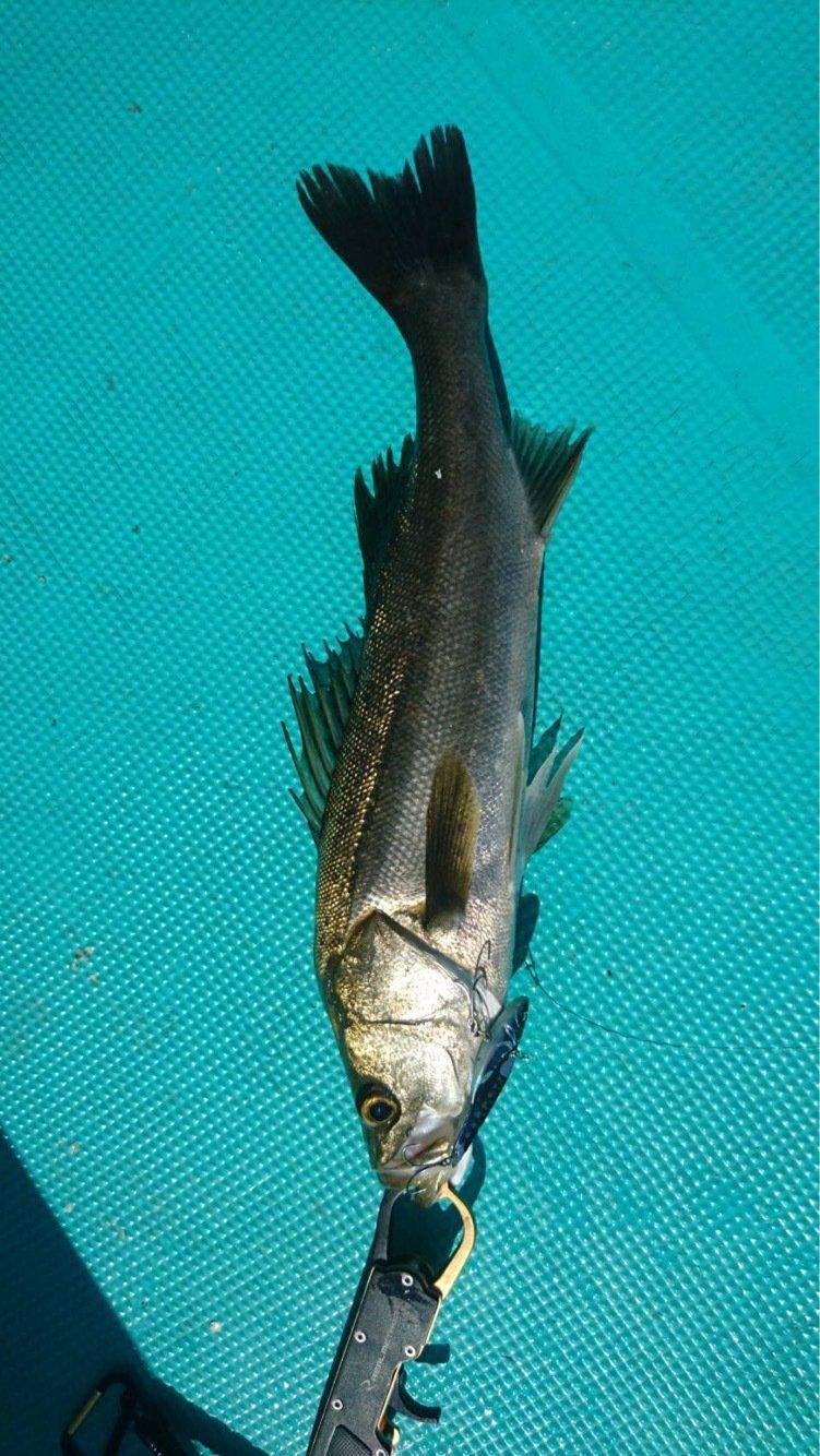 釣り猫さんの投稿画像,写っている魚はスズキ