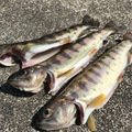 wadukiさんの岩手県九戸郡での釣果写真
