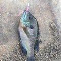 hikaruさんの福岡県でのブルーギルの釣果写真