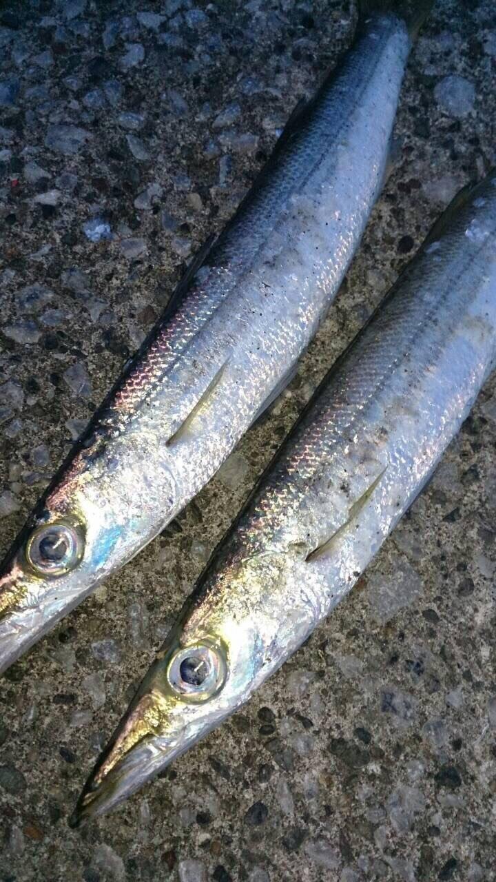 しみしょうさんの投稿画像,写っている魚はカマス