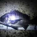 かにさんさんの愛知県東海市でのクロダイの釣果写真