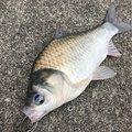 アブさんの新潟県でのヘラブナの釣果写真