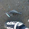 のぶっち.comさんの北海道留萌市での釣果写真