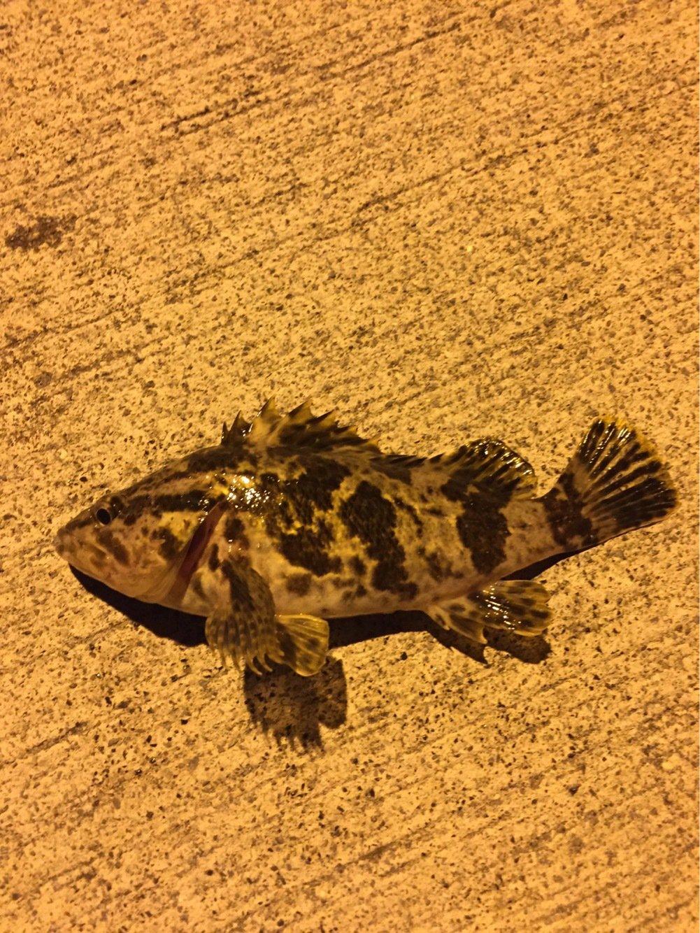 ゴリラさんの投稿画像,写っている魚はタケノコメバル