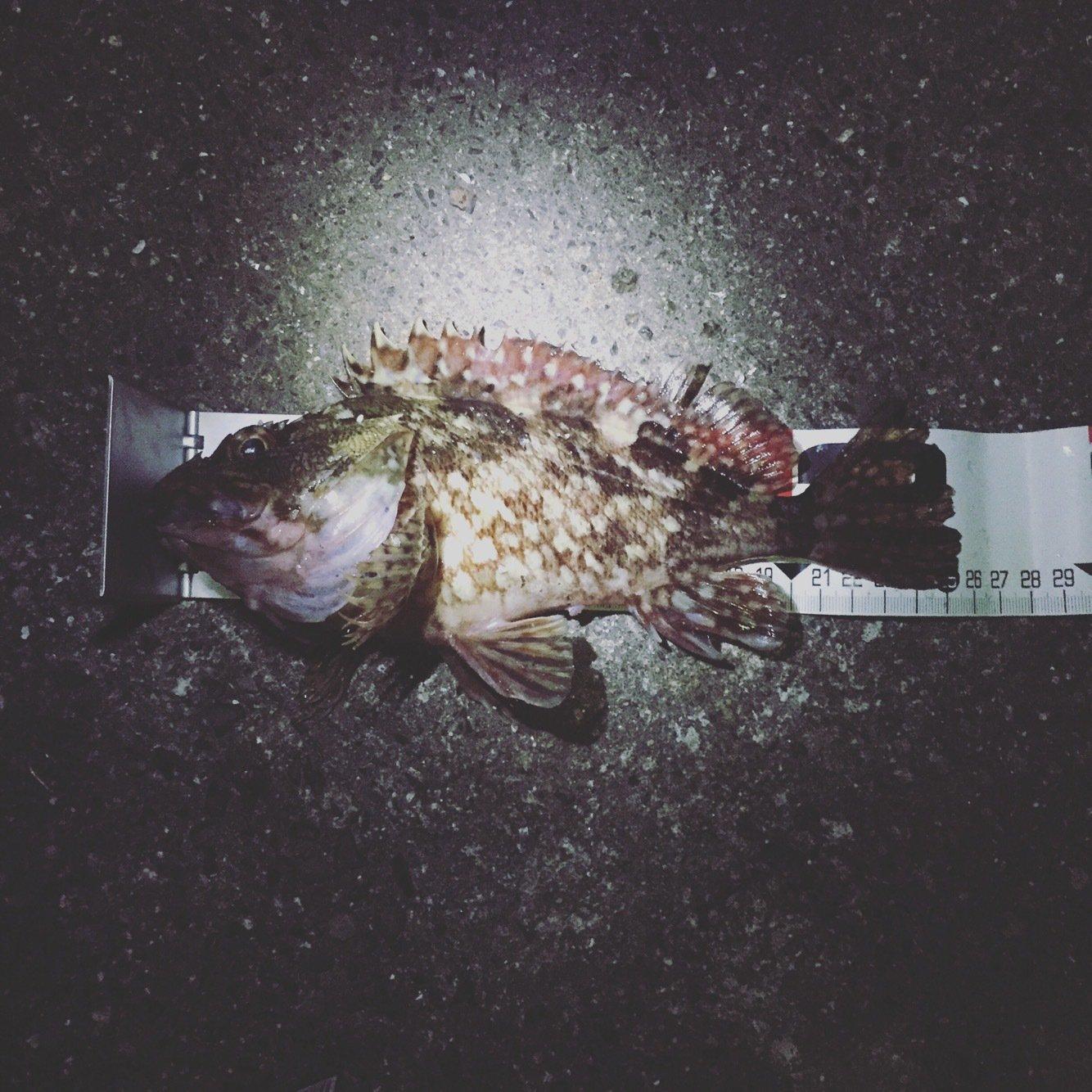 ゴリラさんの投稿画像,写っている魚はカサゴ