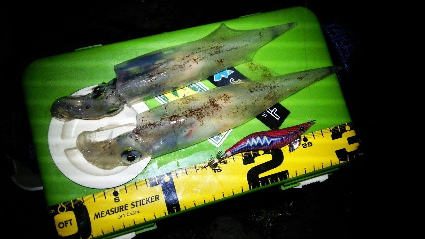 masa1205さんの投稿画像,写っている魚はヤリイカ