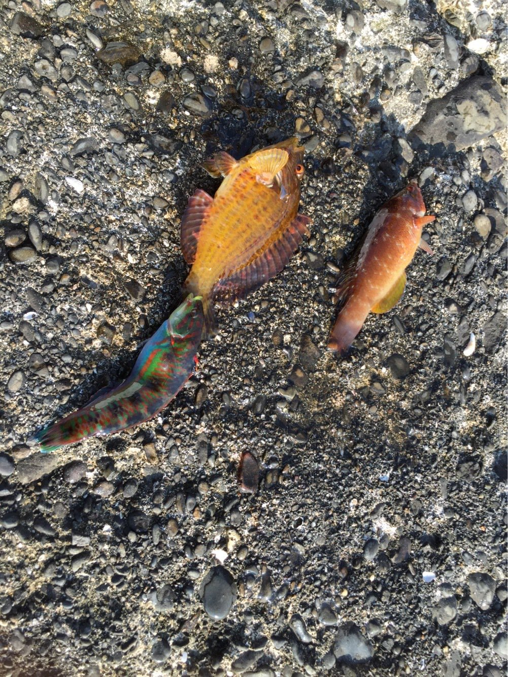 ったかのりさんの投稿画像,写っている魚は