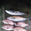 nobu さんの滋賀県長浜市での釣果写真