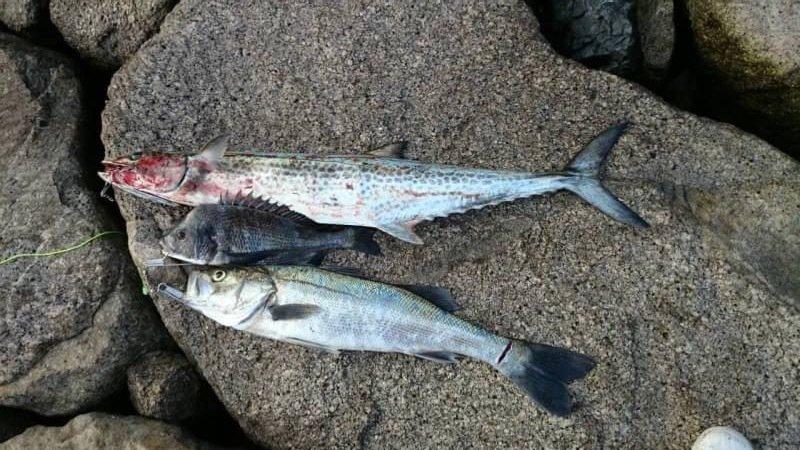 アングラーさんの投稿画像,写っている魚はサワラ