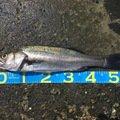 海坊主さんの熊本県上天草市でのスズキの釣果写真