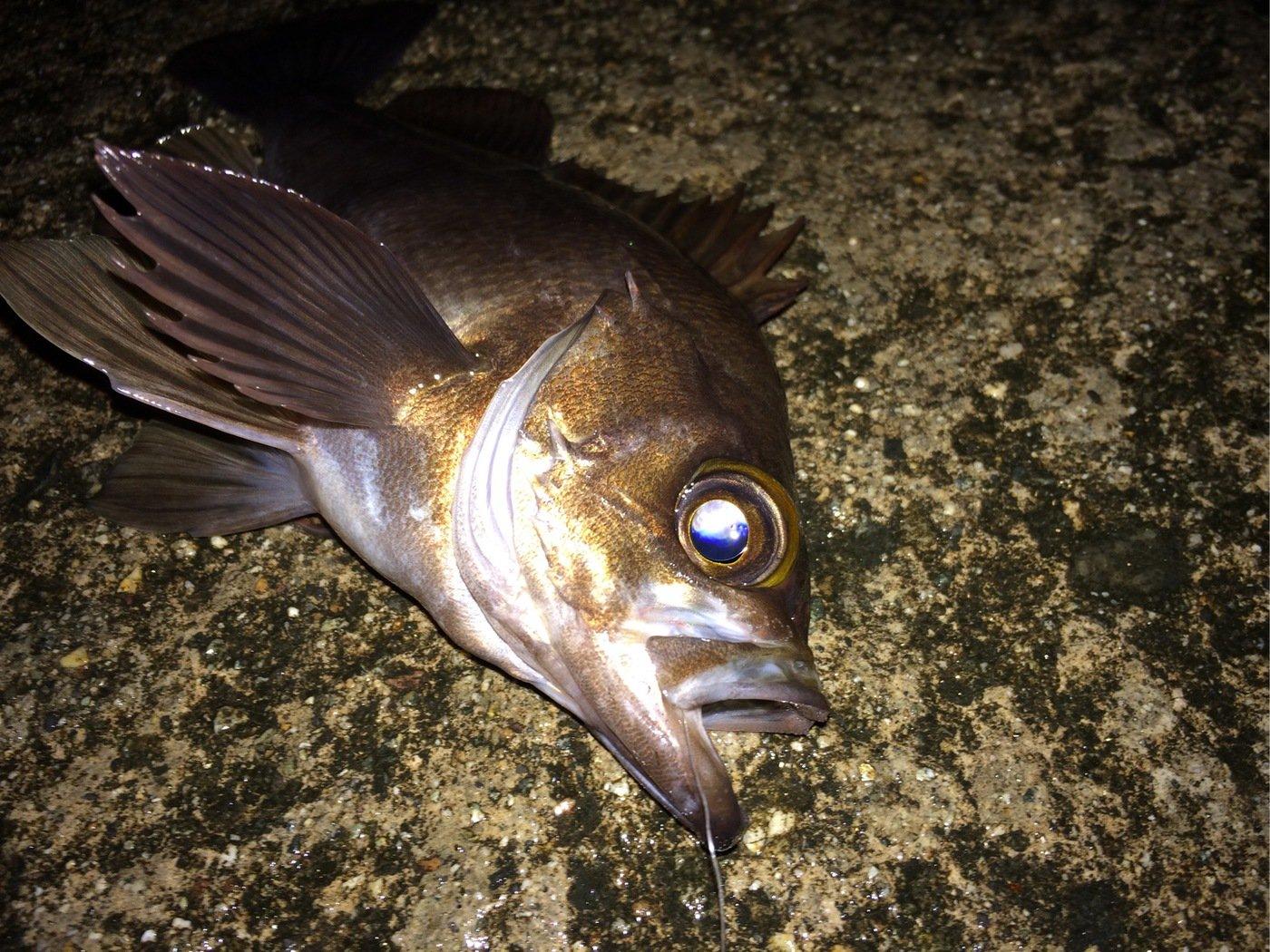 マルコムさんの投稿画像,写っている魚はアカメバル