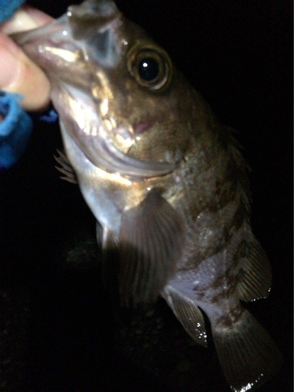 マルコムさんの投稿画像,写っている魚はクロメバル
